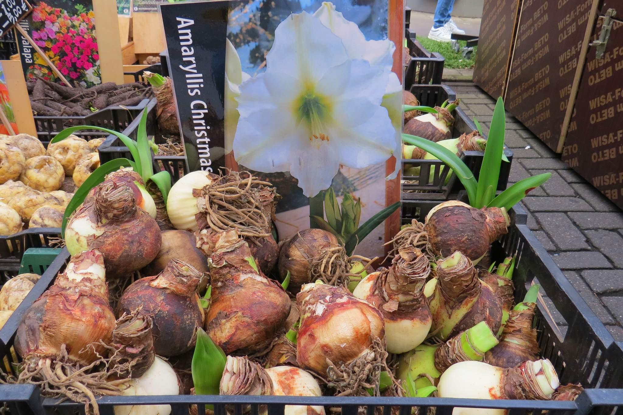 targ kwiatowy w Amsterdamie cebule