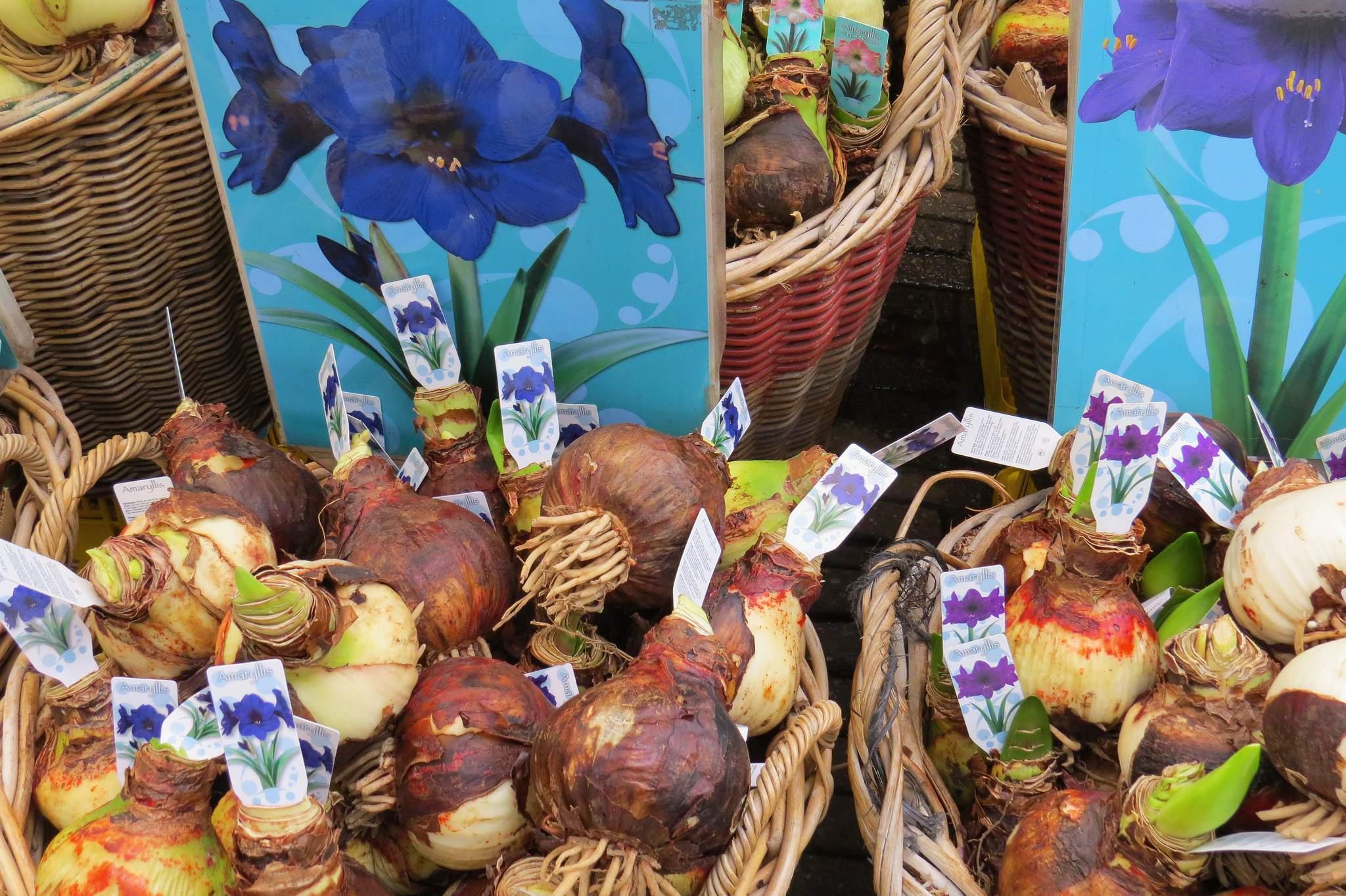 targ kwiatowy Amsterdam cebule