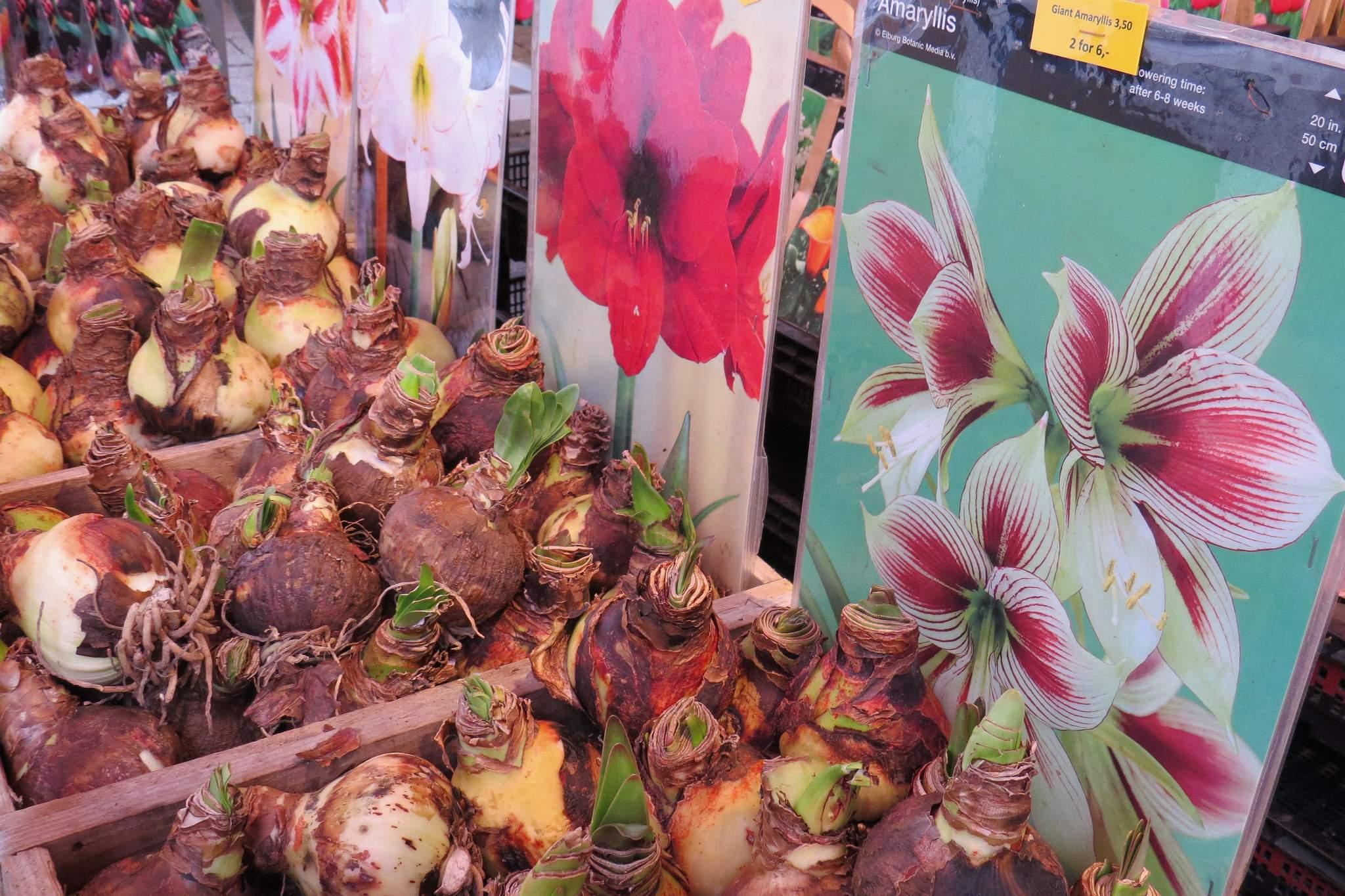 targ kwiatowy Amsterdam cebule kwiatów