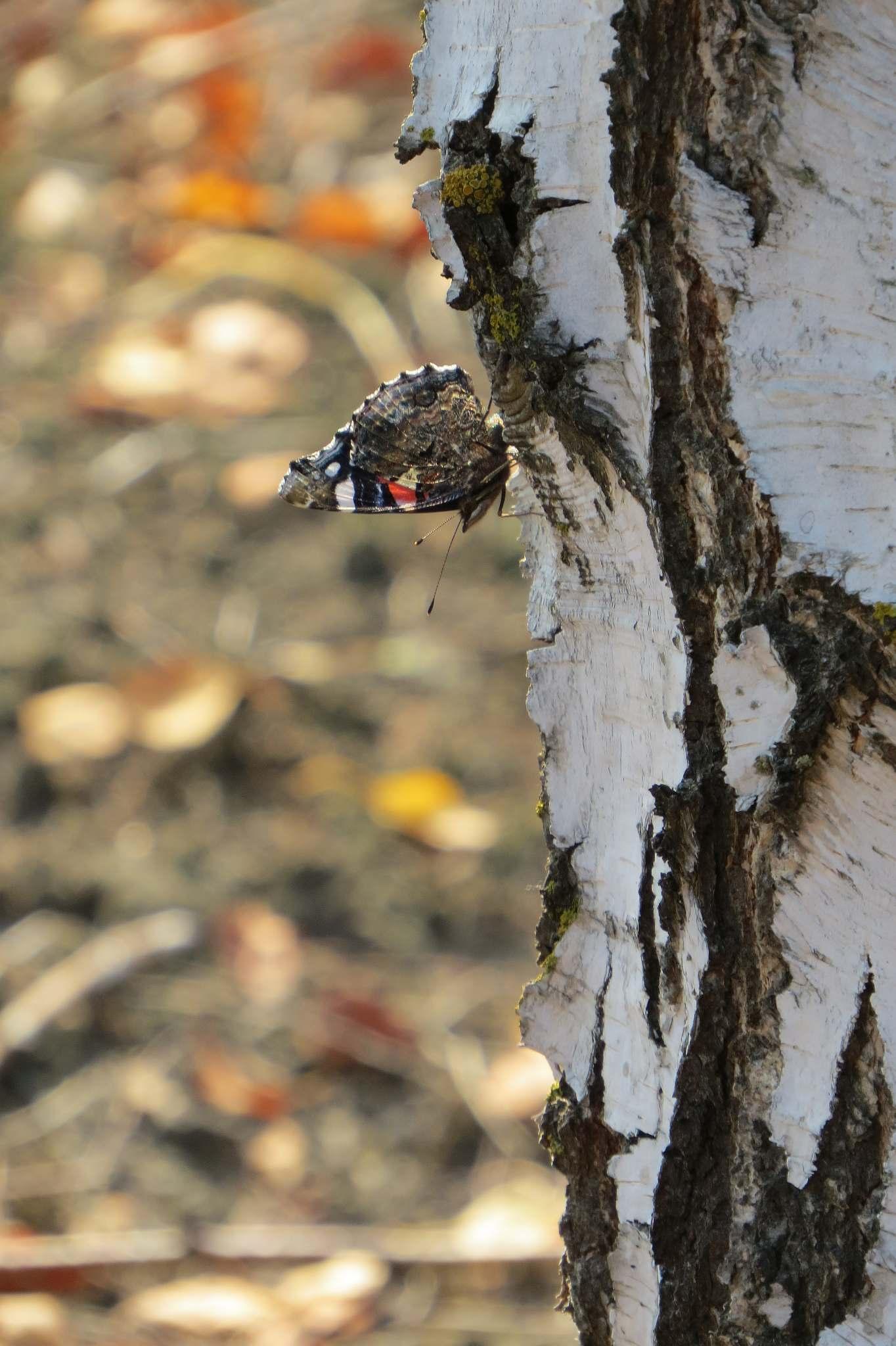 mostówka motyl