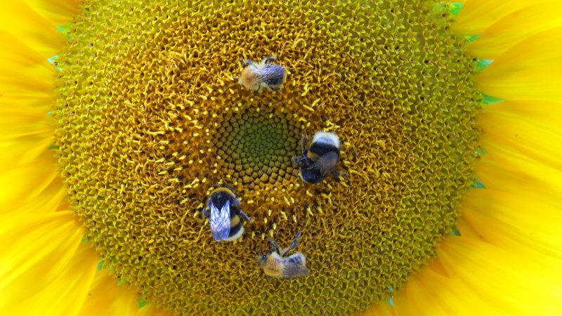 kalendarz alergii pyłki słonecznik