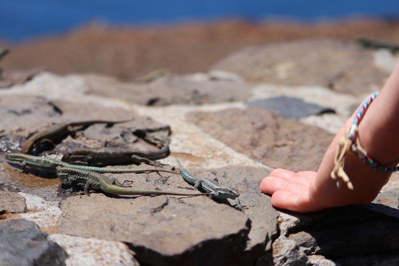 Madera półwysep świętego wawrzyńca jaszczurki