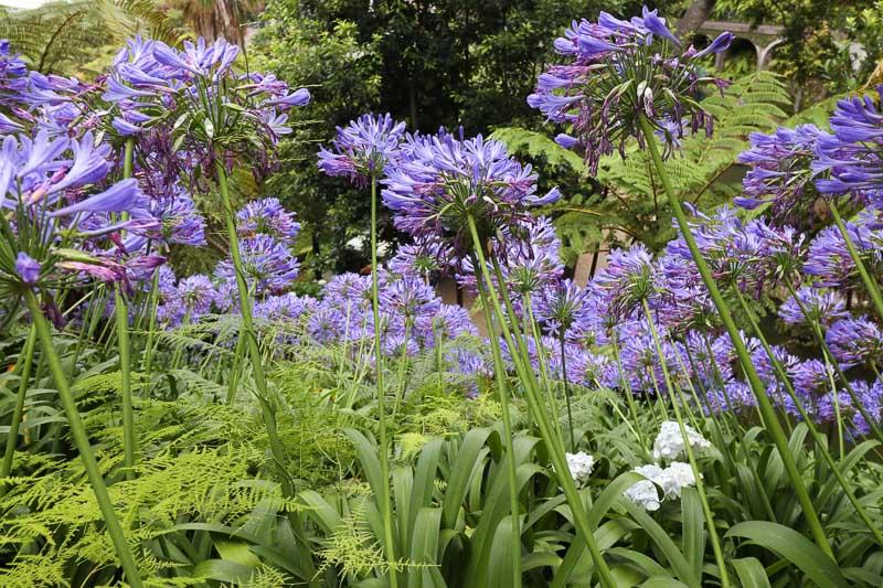 kwiaty w ogrodzie na maderze