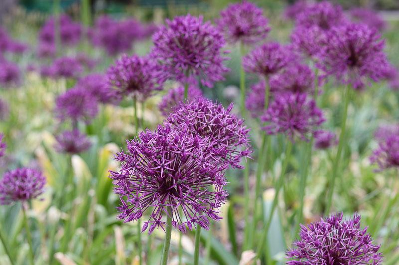 ogród botaniczny Powsin czosnek ozdobny