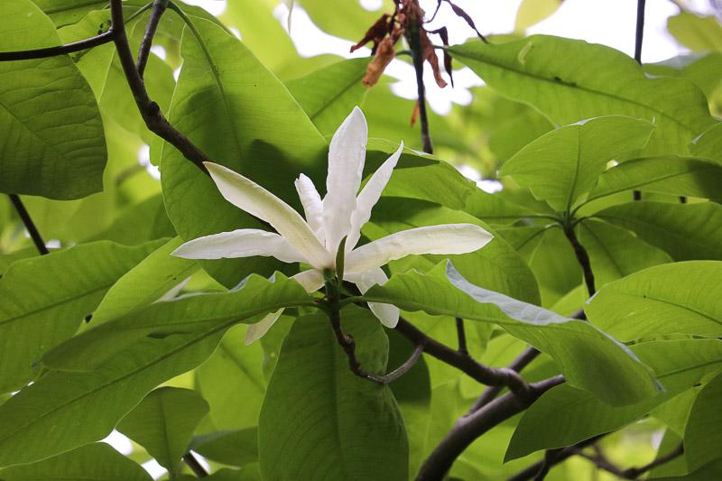 ogród botaniczny powsin magnolia