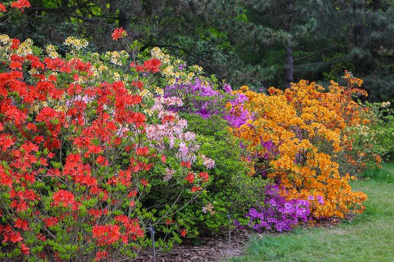 ogród botaniczny powsin rododendrony