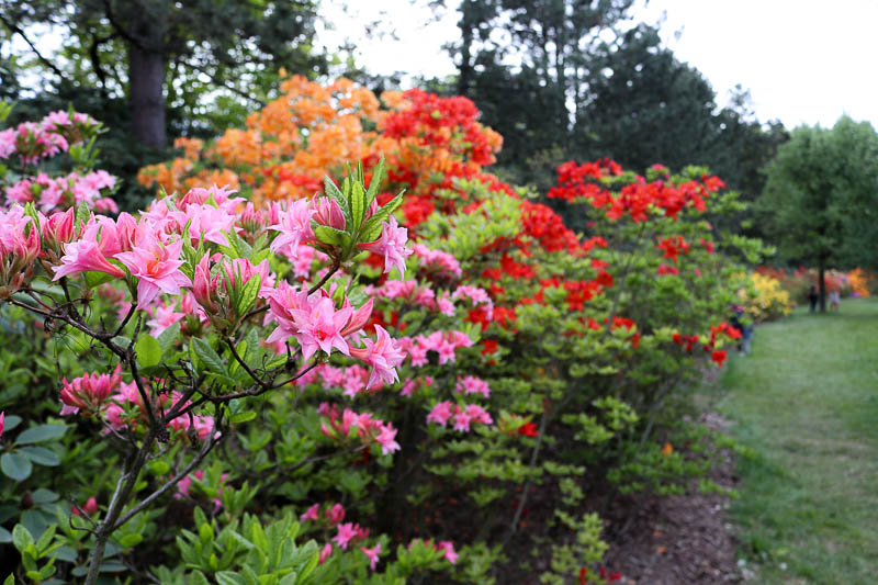 rododendrony ogród botaniczny PAN