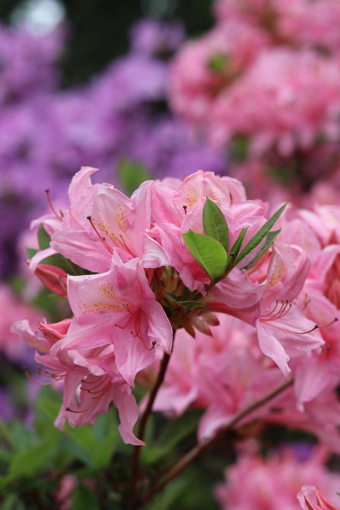 ogród botaniczny powsin różaneczniki