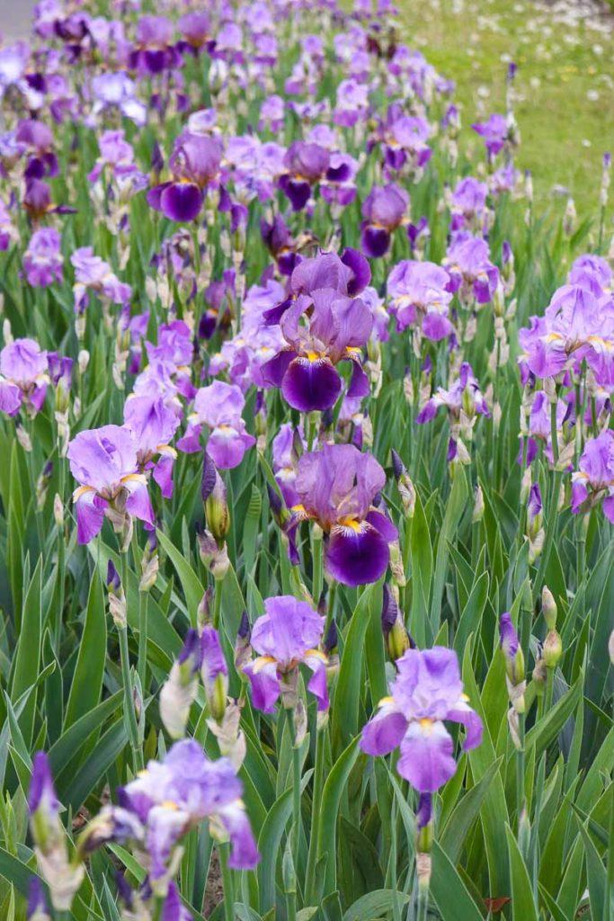 powsin ogród botaniczny irysy