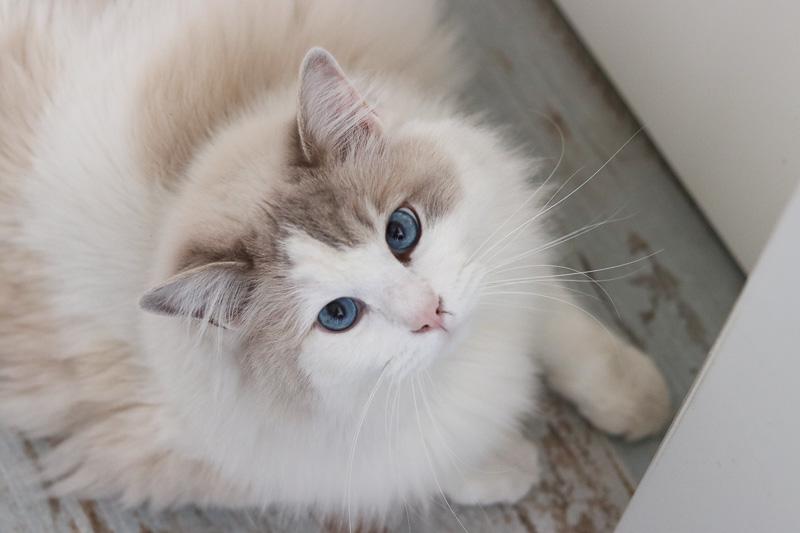 rasa ragdoll niebieskie oczy
