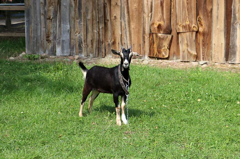 skansen w sierpcu koza
