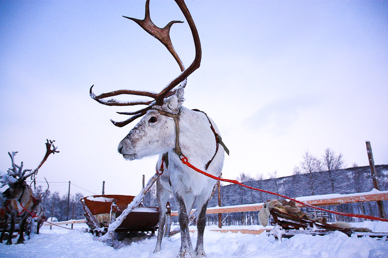 zwyczaje bożonarodzeniowe w Finlandii renifer
