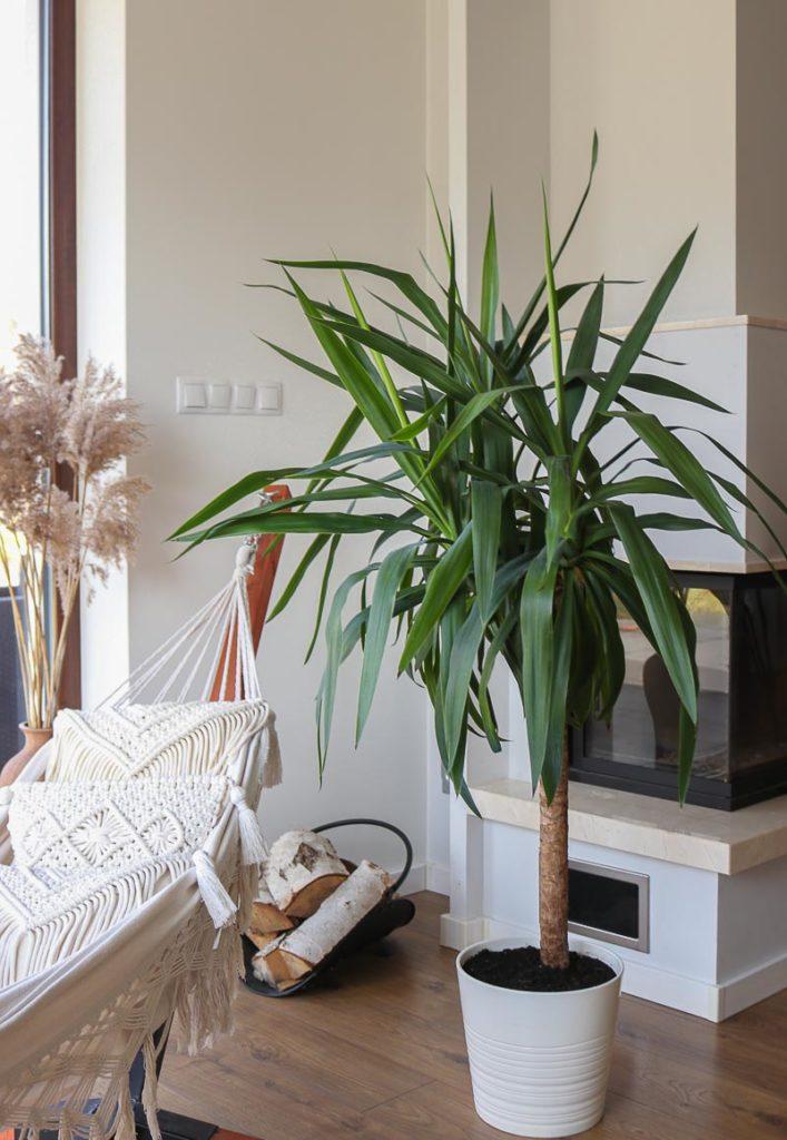 porządki wiosenne yucca w doniczce